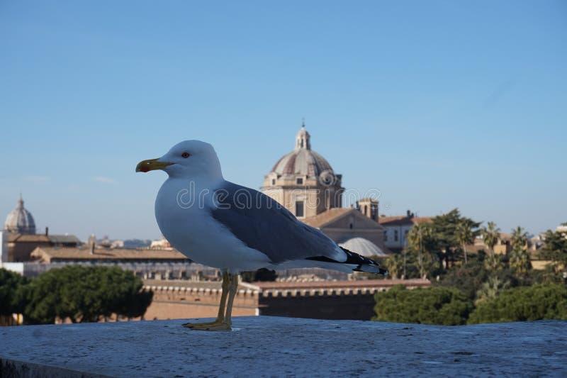 Zeemeeuw in de stad van Rome stock fotografie