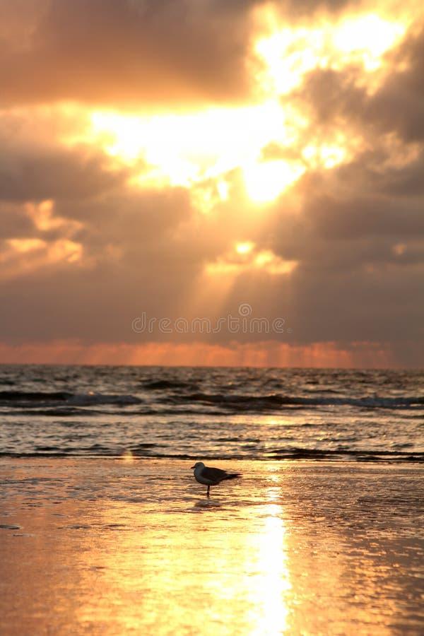 Zeemeeuw in de zonsondergang stock fotografie