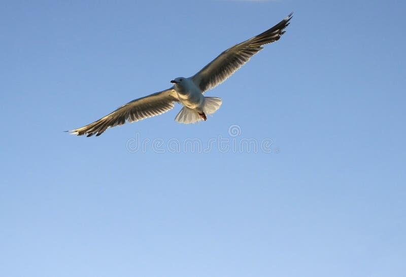 Zeemeeuw die blauwe hemel vliegen royalty-vrije stock foto