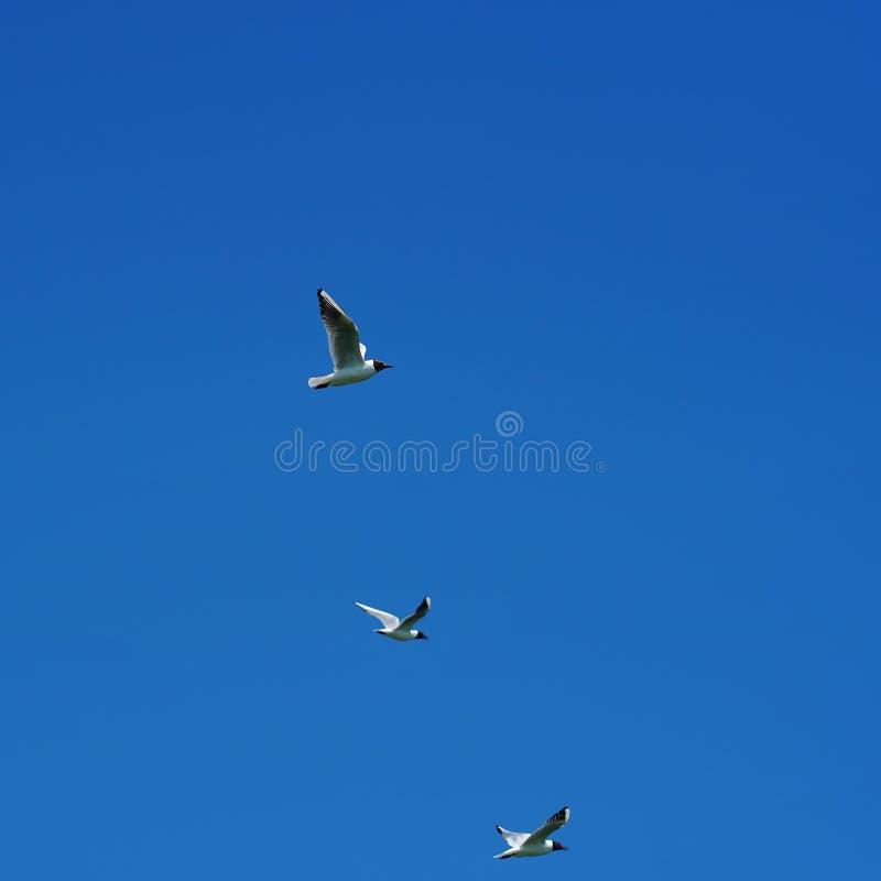 Zeemeeuw die in blauwe hemel 5 vliegen royalty-vrije stock foto