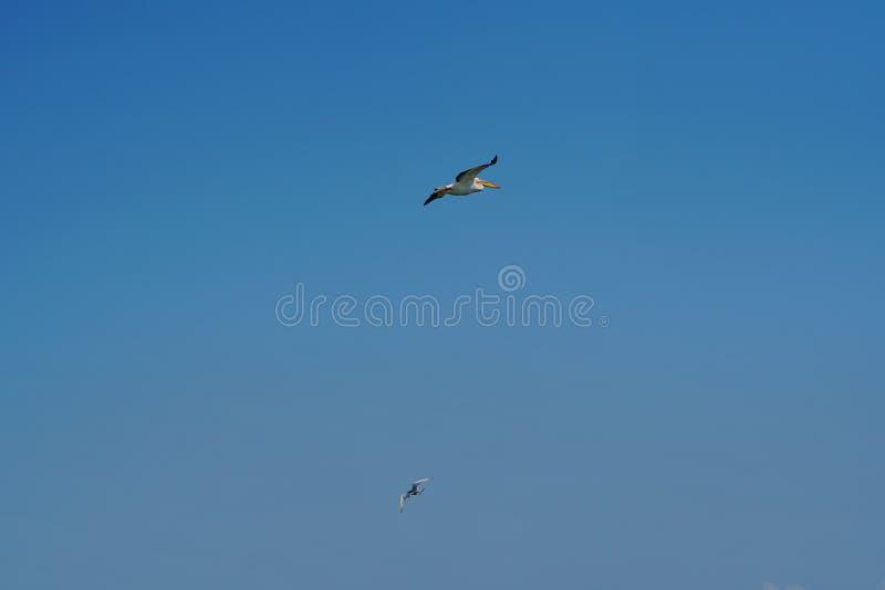 Zeemeeuw die in blauwe hemel 2 vliegen stock afbeeldingen