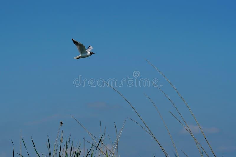 Zeemeeuw die in blauwe hemel 4 vliegen royalty-vrije stock foto's