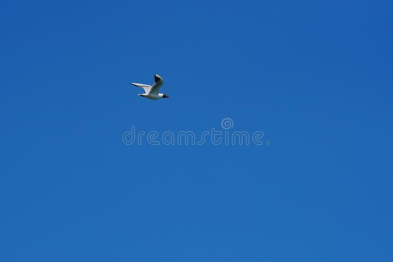 Zeemeeuw die in blauwe hemel 3 vliegen stock foto's