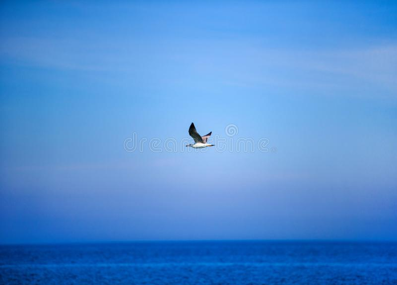 zeemeeuw die in de blauwe zonnige hemel over de kust van de Zwarte Zee vliegen royalty-vrije stock afbeeldingen