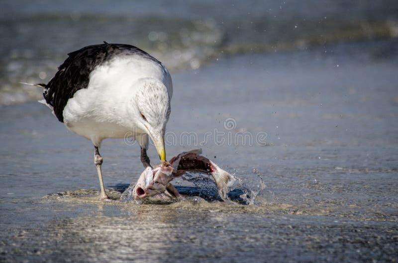 Zeemeeuw die een vis eet royalty-vrije stock foto's