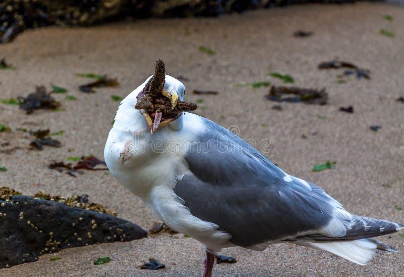 Zeemeeuw die een zeester eten stock afbeelding