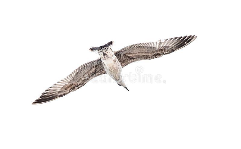 , Of zeemeeuw die geïsoleerd op wit glijden stijgen vliegen stock foto