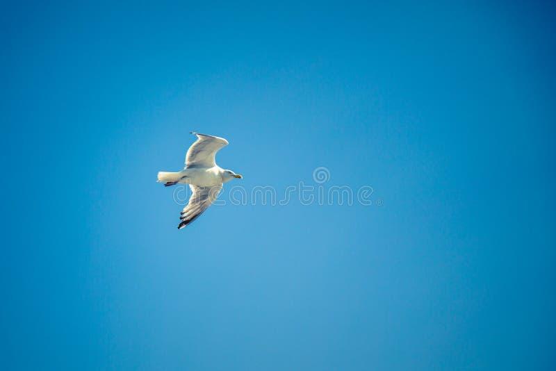 Zeemeeuw die hoog in een duidelijke blauwe hemel vliegen royalty-vrije stock foto's