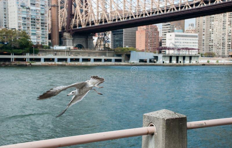 Zeemeeuw die naast Queensboro-Brug over de Rivier van het Oosten vliegen, die Roosevelt Island met het Upper East Side van Manhat royalty-vrije stock foto's