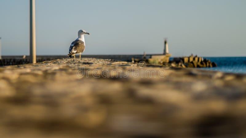 Zeemeeuw die op de haven rusten stock foto's