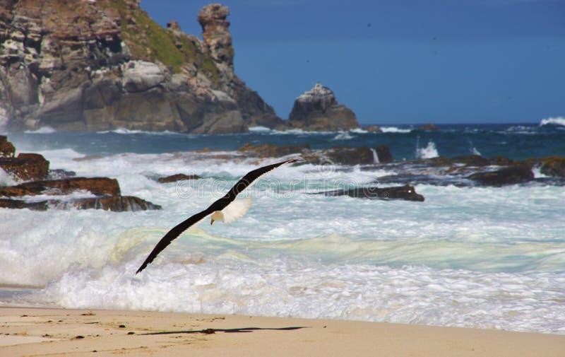 Zeemeeuw die op Dias-strand stoten stock foto's