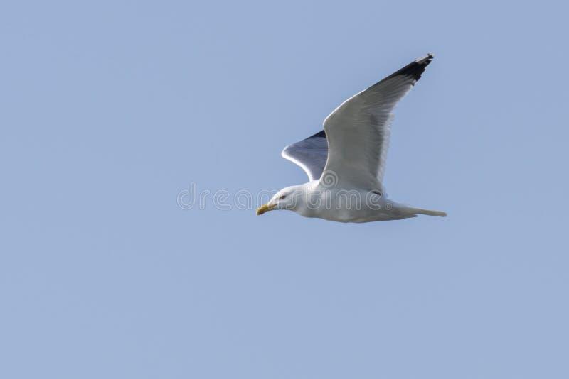 Zeemeeuw die op meer vliegen stock afbeelding