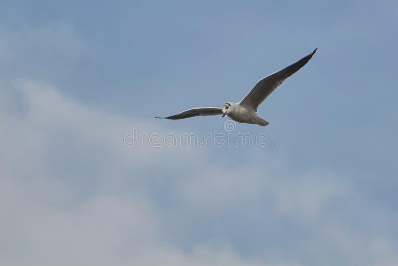 Zeemeeuw die op meer vliegen stock foto
