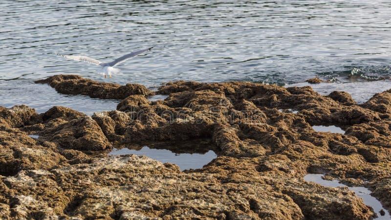 Zeemeeuw die op rotsen vliegen royalty-vrije stock afbeeldingen