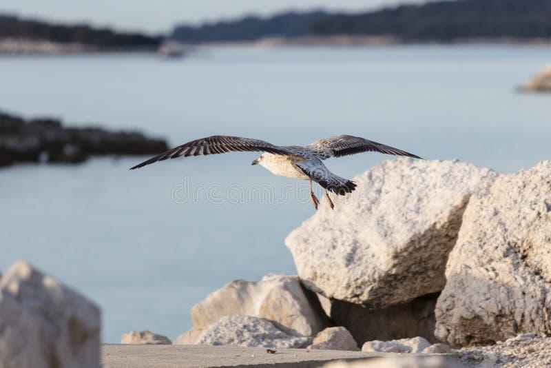 Zeemeeuw die op rotsen vliegen royalty-vrije stock foto
