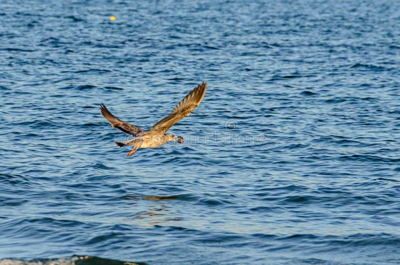 Zeemeeuw die over blauw zeewater, open vleugels, bek dicht omhoog vliegen royalty-vrije stock afbeeldingen