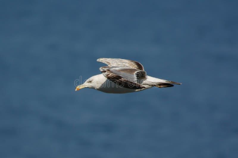 Zeemeeuw die over het blauwe overzees vliegt royalty-vrije stock fotografie