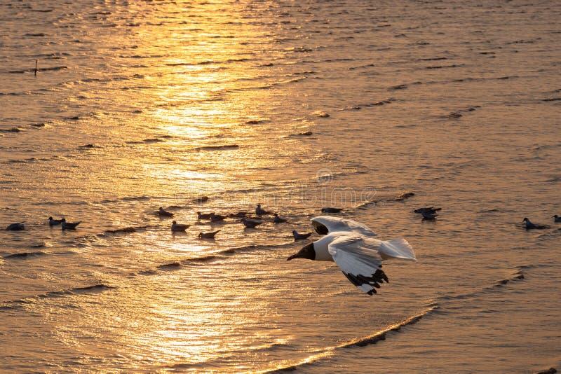 Zeemeeuw die over het gouden avondoverzees vliegen royalty-vrije stock afbeelding