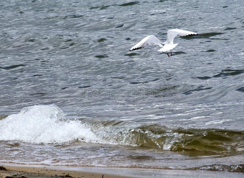 Zeemeeuw die over het Meer vliegen stock afbeeldingen