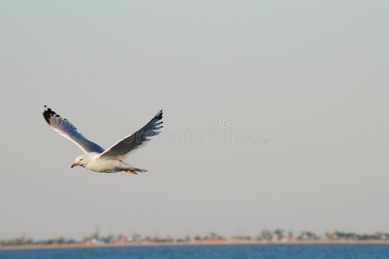 Zeemeeuw die over het overzees tegen een blauwe hemel vliegen royalty-vrije stock fotografie