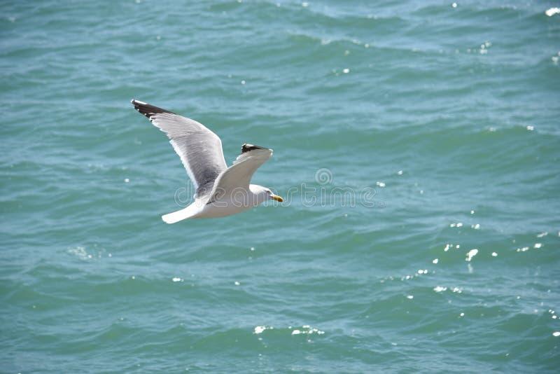 Zeemeeuw die over het overzees vliegt stock foto