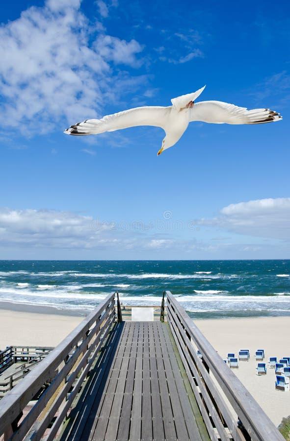 Zeemeeuw die over houten voetbrug vliegen die naar het strand en de oceaan leiden stock afbeelding