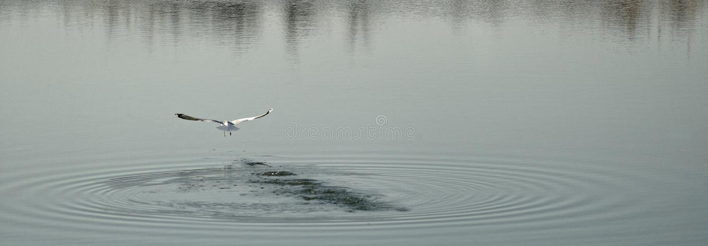 Zeemeeuw die over meer, Corbeanca, Ilfov-Provincie, Roemenië vliegen royalty-vrije stock afbeeldingen
