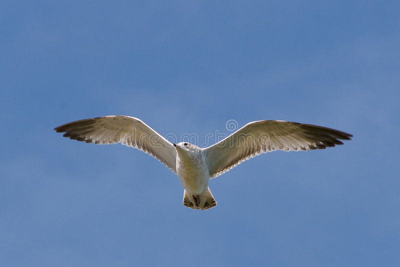 Zeemeeuw die over meer vliegt. stock afbeelding