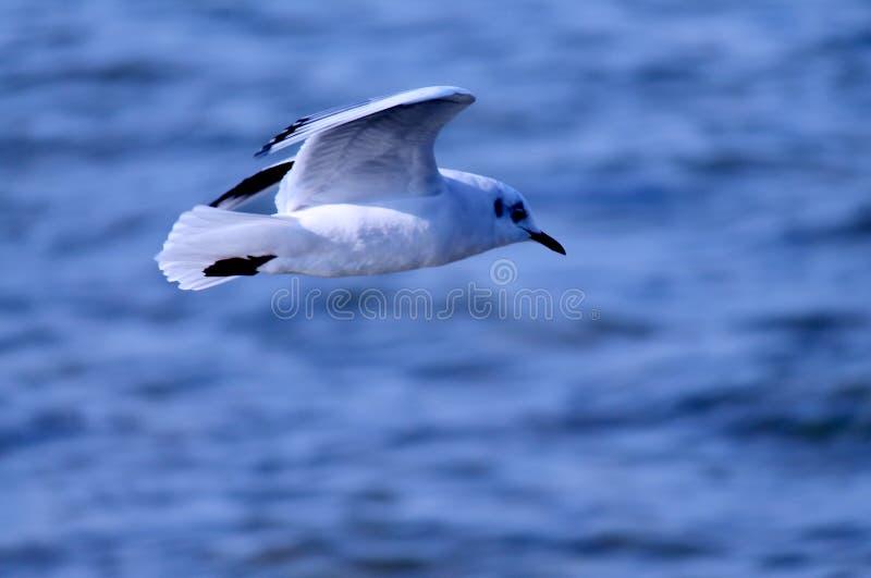 Zeemeeuw die over water vliegen royalty-vrije stock foto's