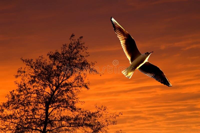 Zeemeeuw die tijdens zonsondergang stijgt royalty-vrije stock afbeeldingen