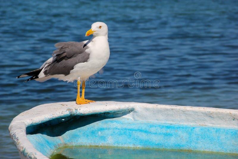 Zeemeeuw die Volledig Lichaam op Rand van Turkooise Vissersboot bevinden zich stock foto's