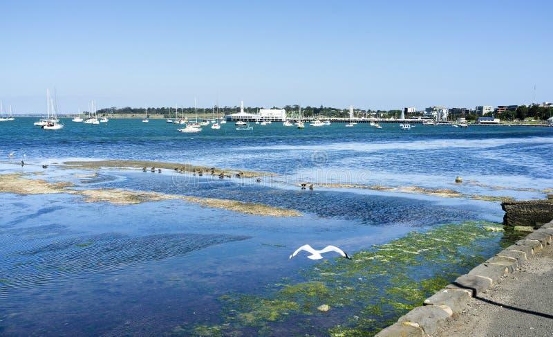Zeemeeuw die voorbij mening van Geelong-baai vliegen royalty-vrije stock afbeelding