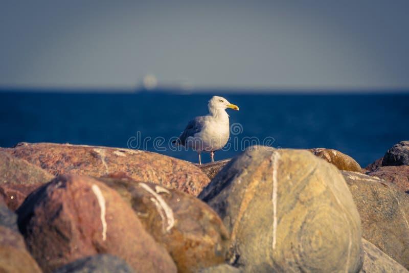 Zeemeeuw die zich op grote rotsen bevinden royalty-vrije stock fotografie