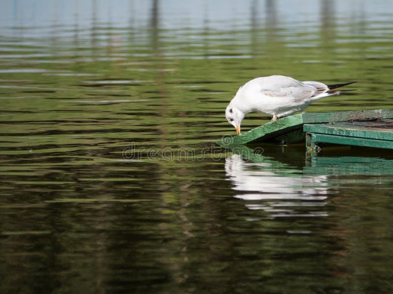 Zeemeeuw drinkwater van een parkvijver stock foto's