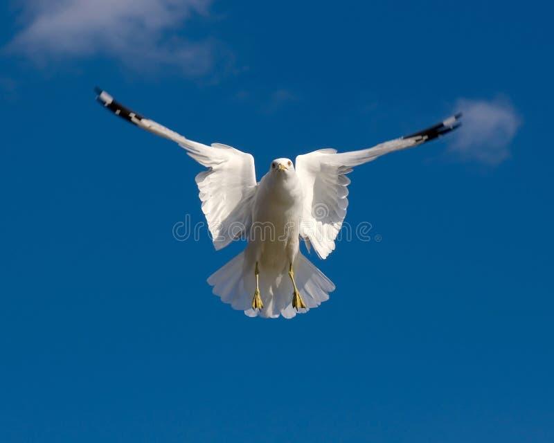 Zeemeeuw in een blauwe hemel stock fotografie