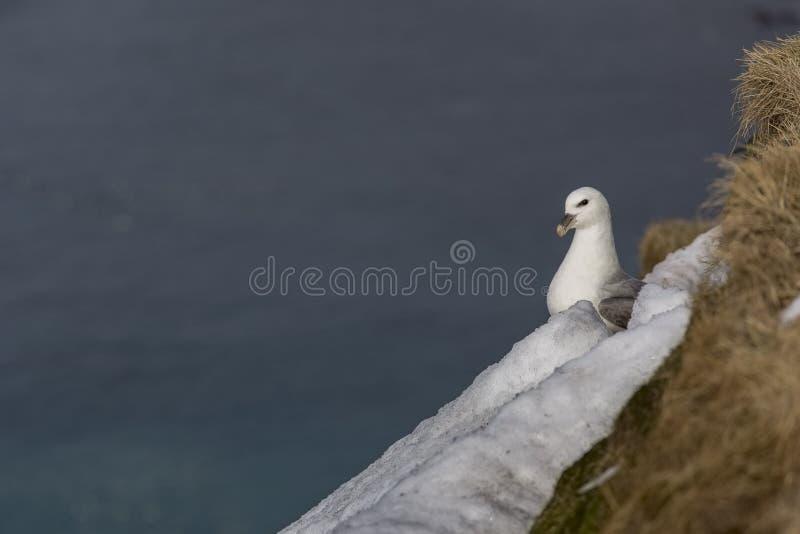 Zeemeeuw Grimsey ijsland stock afbeeldingen