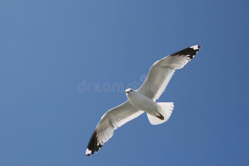 Zeemeeuw, het vliegen stock fotografie
