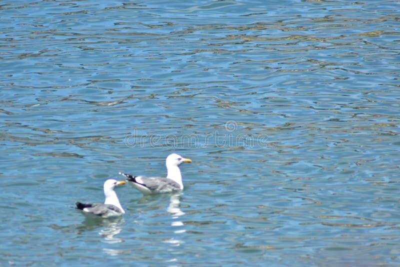 zeemeeuw 2 in het water die op voedsel, meer Genève Zwitserland wachten stock foto