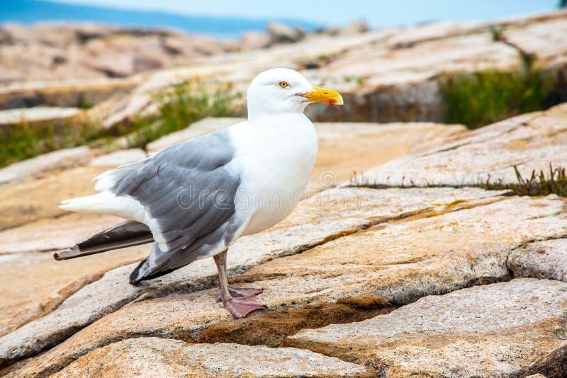 Zeemeeuw met gebroken vleugel op granietrotsen in het Nationale Park van Acadia stock foto