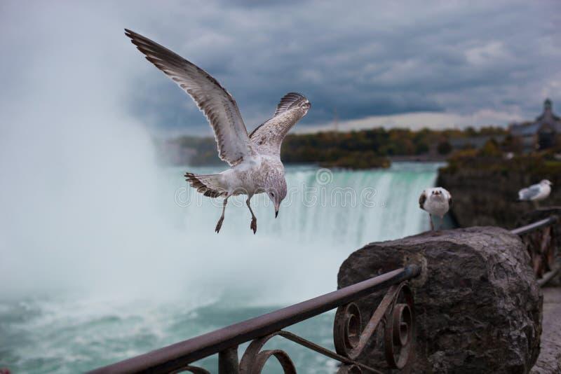 Zeemeeuw op de achtergrond van Niagara-Dalingen stock afbeeldingen