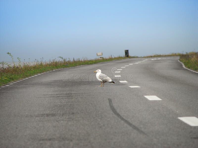 Zeemeeuw op de weg stock foto