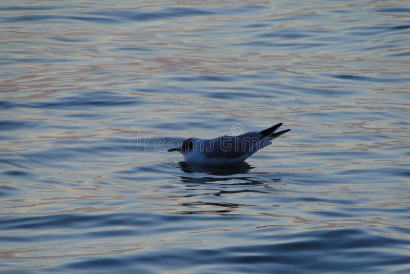 Zeemeeuw op de Zwarte Zee, Odessa door het strand royalty-vrije stock foto
