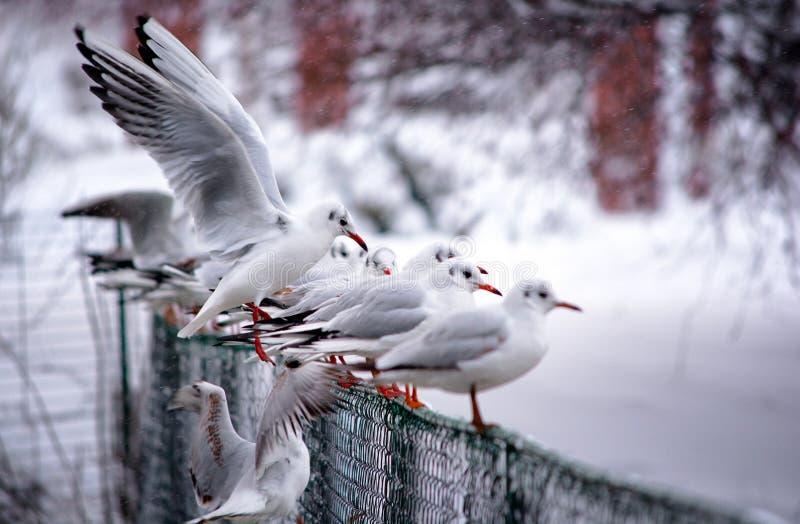 Zeemeeuw op een de winter bevroren meer in het park van Boekarest Herastrau royalty-vrije stock afbeeldingen