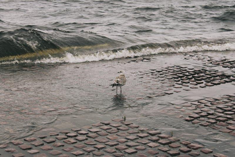 Zeemeeuw op het Meer stock foto