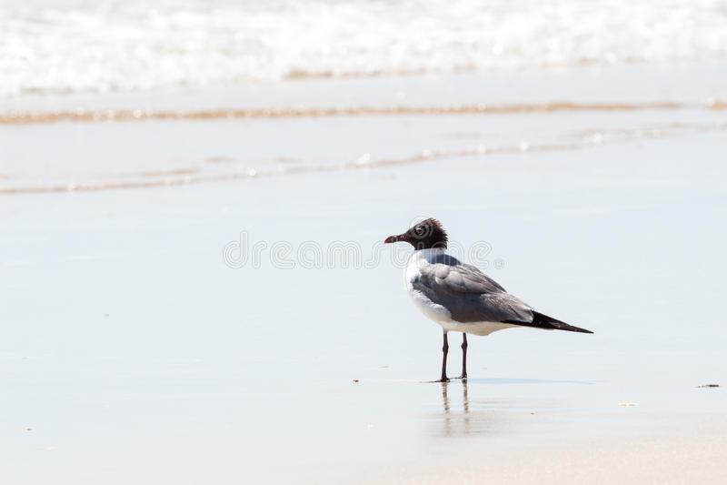 Zeemeeuw op het Strand van Florida stock afbeelding