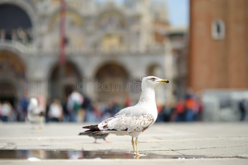Zeemeeuw op het vierkant van San Marco in Venetië, Italië stock afbeeldingen
