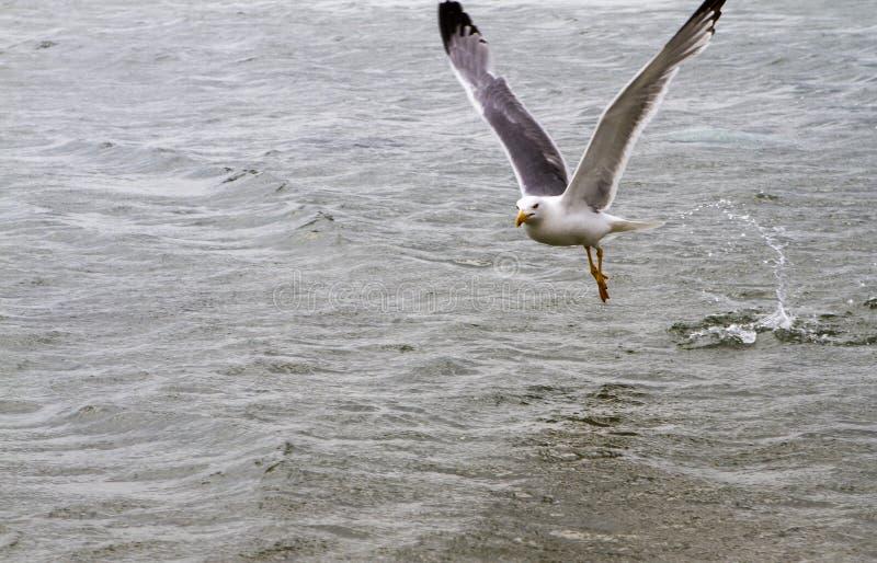 Zeemeeuw op het Water stock foto's