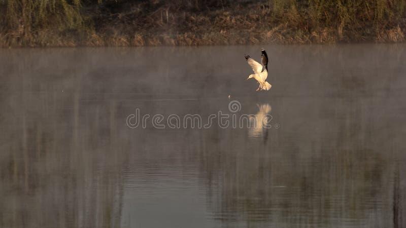 Zeemeeuw op meer, Corbeanca, Ilfov-Provincie, Roemenië stock foto
