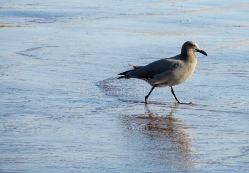 Zeemeeuw op overzees strand stock fotografie