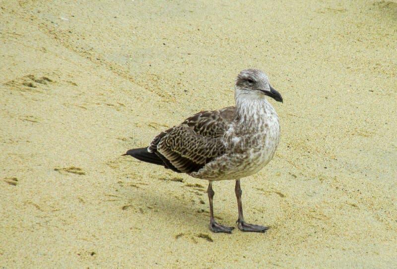 Zeemeeuw op overzees strand royalty-vrije stock afbeeldingen